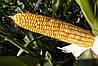 Кукурудза Mas 39.WX (імпорт)