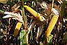 Кукурудза Mas 47.P
