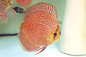 Дискус Эрапшен Leopard Spotted Face Discus
