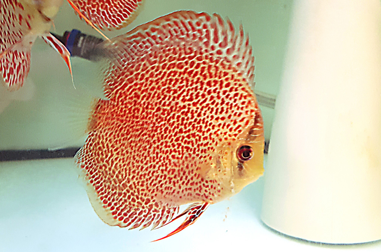 Дискус Эрапшен Leopard Spotted Face Discus, фото 1
