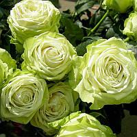 Роза Грин Романтика (Green Romantica)