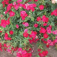 Роза почвопокровная Ред Вельвет , фото 1