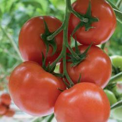 Семена томата Беллавиза F1, (100 сем.)