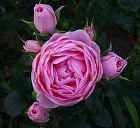 Роза флорибунда Ханс Гоневейн Роуз, фото 1
