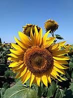 Семена подсолнечника Mirasol Сирокко OR7 посевной материал