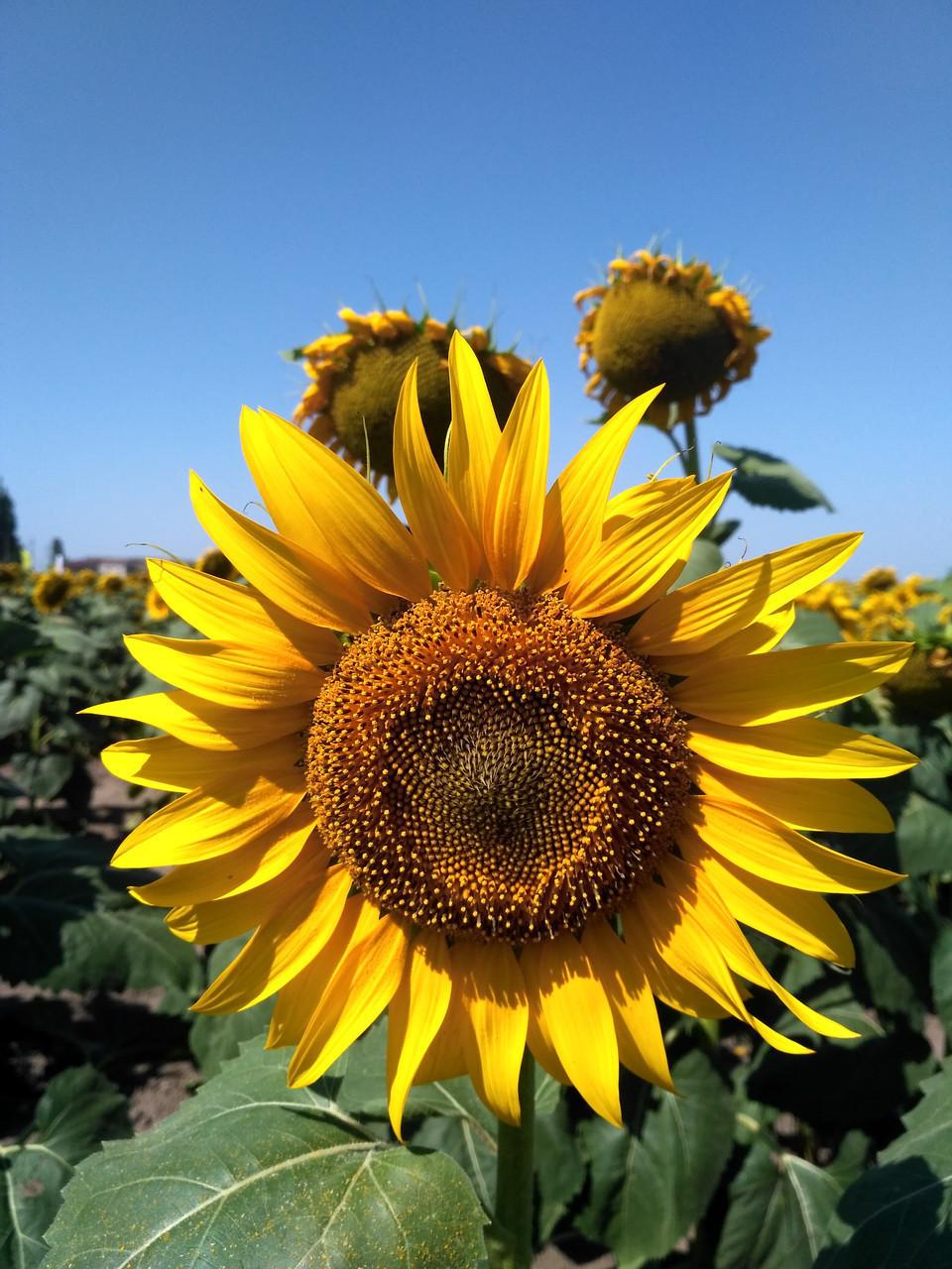 Насіння соняшнику Mirasol Булерия OR7 посівний матеріал