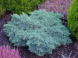 Ялівець лускатий Blue Star 5 річний, Можжевельник чешуйчатый Блю Стар, Juniperus squamata Blue Star, фото 3