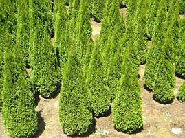 Туя західна Smaragd 5-6 річна 110-120см, Туя западная Смарагд, Thuja occidentalis Smaragd, фото 3