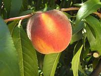 Саженцы персика Релаинс