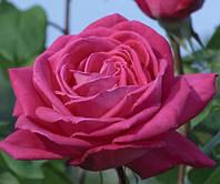Роза чайно-гибридная Лолита Лемпика
