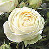 Роза спрей Веддиг Пиано