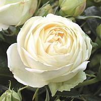 Роза спрей Веддиг Пиано, фото 1