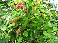 Саженец штамбовой малины Евразия
