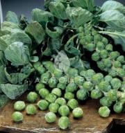 Семена капусты брюссельской Диабло  F1 2500 семян Бейо (Bejo)
