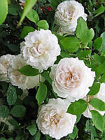 Роза плетистая Сияющая невеста