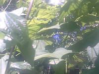 Лекарственная лиана диоскорея кавказская