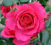 Роза плетистая Миритим, фото 1