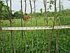 Саженцы и растения граба для живой изгороди. Схема посадки.