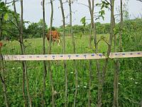 Саженцы и растения граба для живой изгороди. Схема посадки., фото 1