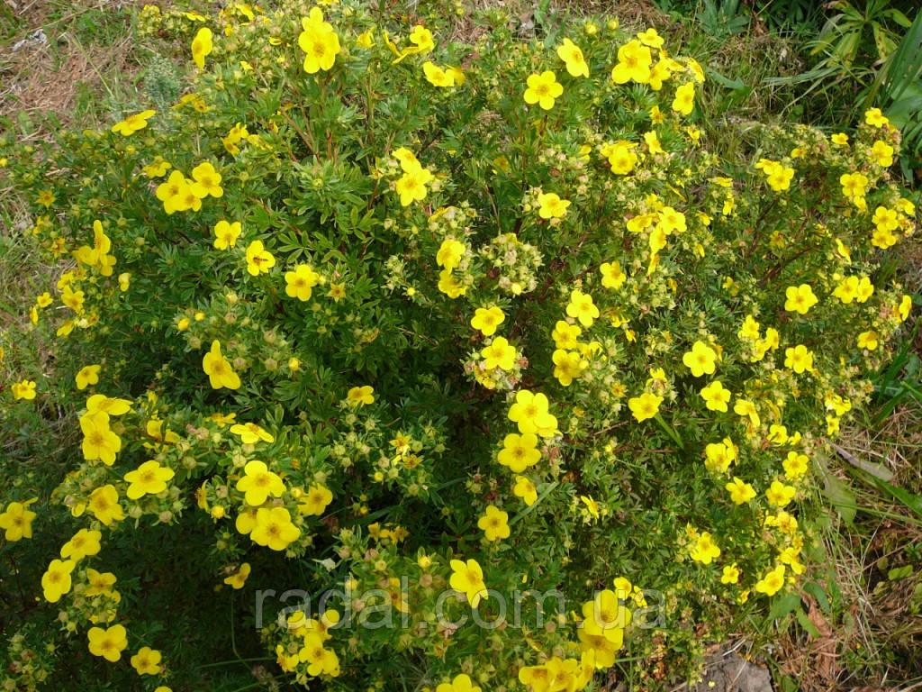 Лапчатка кустарниковая Желтая (Potentilla fruticosa Abbotswood)