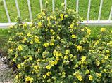 Лапчатка кустарниковая Желтая (Potentilla fruticosa Abbotswood), фото 2