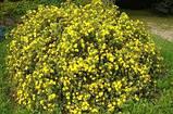 Лапчатка кустарниковая Желтая (Potentilla fruticosa Abbotswood), фото 3