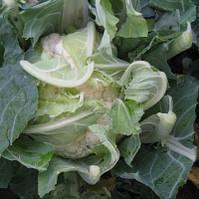 Семена капусты цветной Рауль F1 2500 сем. Никерсон-Цваан