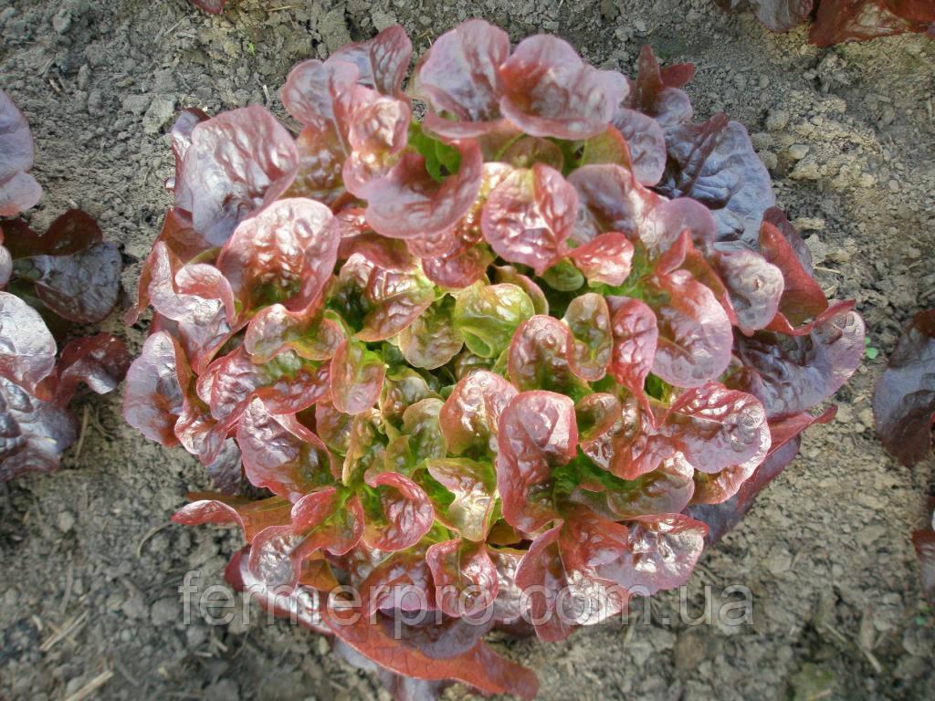 Салат дуболистный Руксай \ Rouxal RZ 5000 семян Rijk Zwaan
