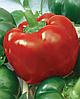 Семена перца сладкого Скиф 500 семян Nasko