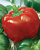 Семена перца сладкого Скиф 500 грамм Nasko