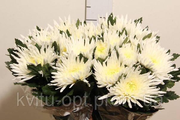 хризантема анабель фото