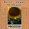Семена подсолнечника Вегас (Vegas) - классический США, фото 2