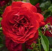 Роза плетистая Бельканто, фото 1