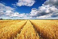 Виниловые обои Поле пшеницы