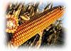 Кукурудза ЕС ОЛІМПУС