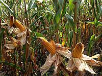 Гибрид кукурузы Плевен, F1, (Maisadour Semences)