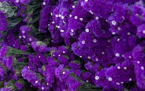 Насіння кермеку QIS пурпуровий (1000шт) Pan American