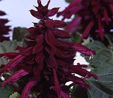 Сальвия Аморе пурпурная (1000шт)