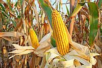 Гибрид кукурузы Мадиво F1, Maisadour Semences