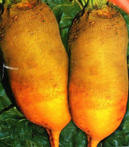 Семена свеклы кормовой Урсус (имп.), фото 2