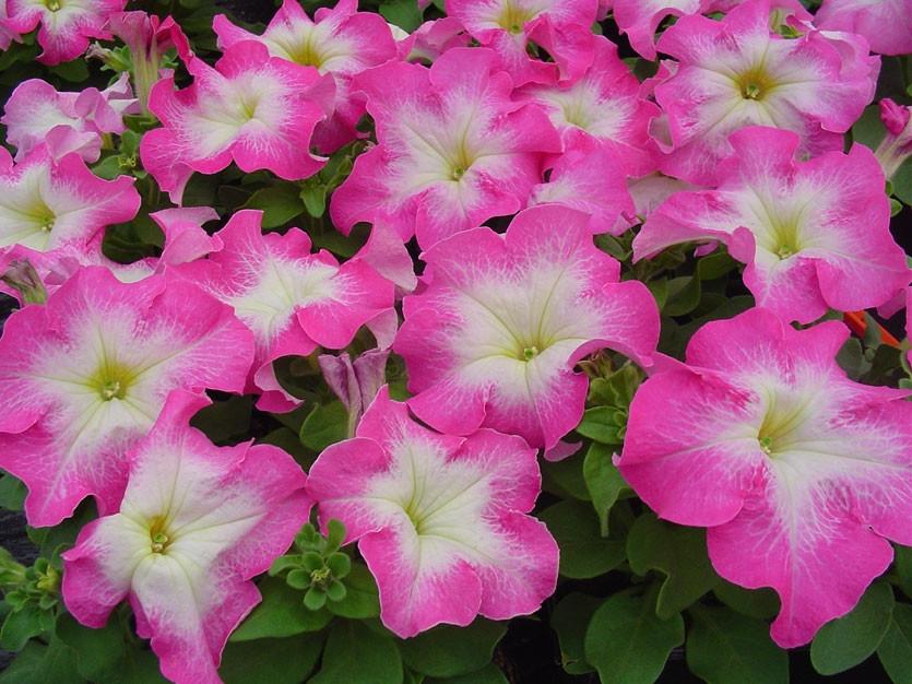 Петунія Мамбо F1 рожевий ранок (1000шт)  Hem Genetics