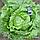 Салат кочанный Айсберг Русский размер, фото 2