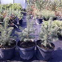 Ель голубая колючая Glauca (Picea pungens Glauca)