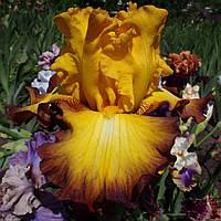 Ирис Bold Vision (Kerr'2000), фото 1