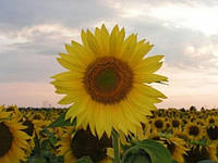 Насіння соняшнику  АС 34102 ( Aspria)
