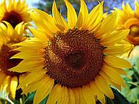 Насіння соняшника АС 33108   AS33108 Aspria