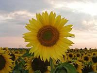 Насіння соняшника АС 33109 | AS33109 Aspria