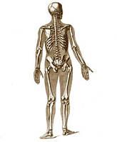 12 систем организма — Костно-мышечная система