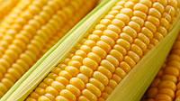 Гибрид LG3255 ФАО 250 семена кукурузы