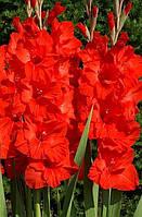 Гладиолус Red Majesty